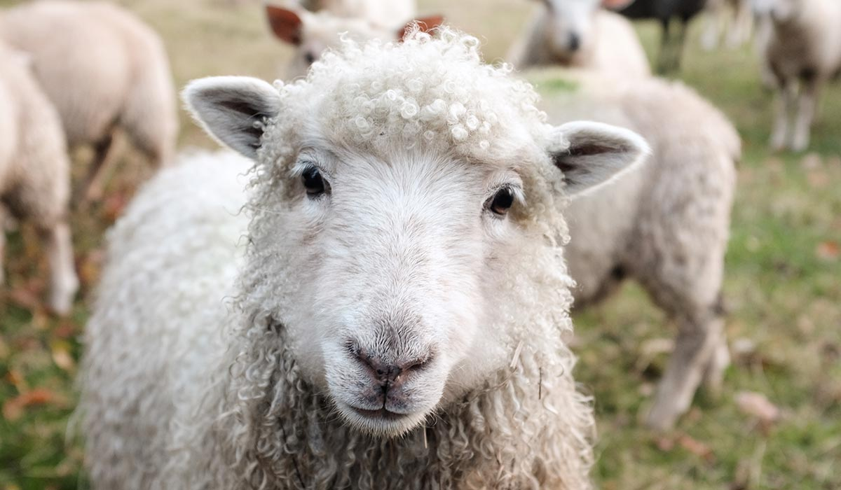 oveja en un prado verde