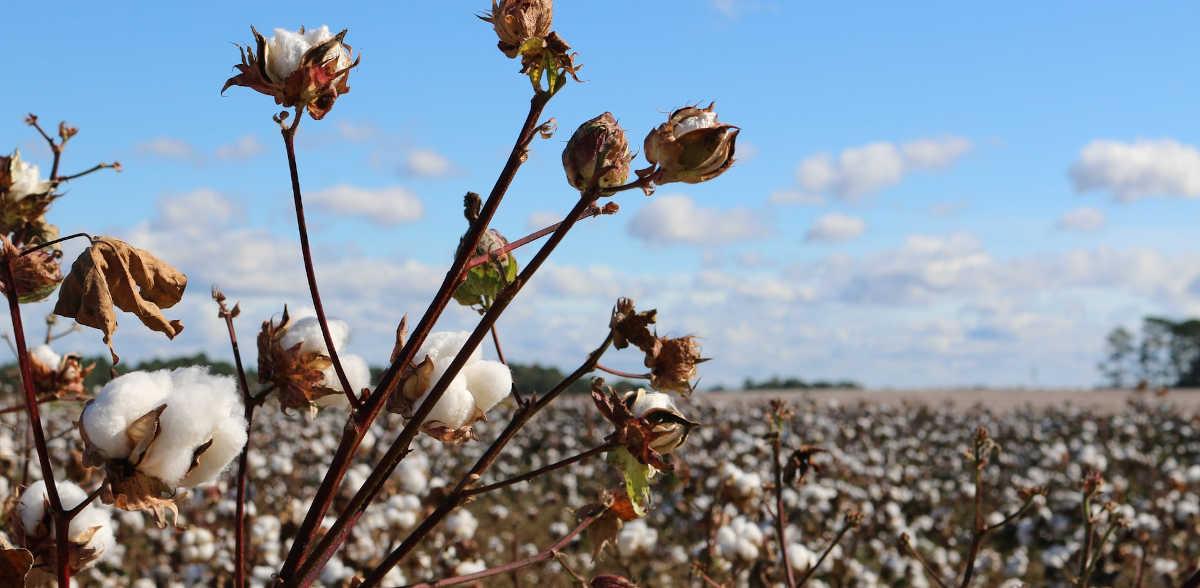 campo de algodon